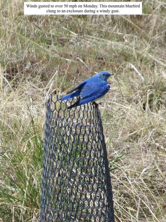 Winds gusted to over 50 mph on Monday. This mountain bluebird clung to an exclosure during a windy gust.