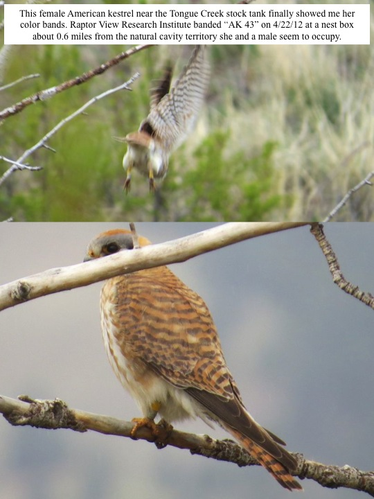"This female American kestrel near the Tongue Creek stock tank finally showed me her color bands. Raptor View Research Institute banded ""AK 43"" on 4/22/12 at a nest box about 0.6 miles from the natural cavity territory she and a male seem to occupy."