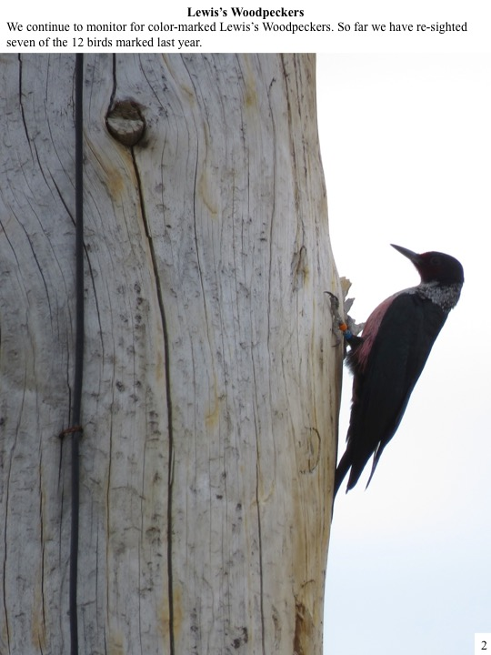 We continue to monitor for color-marked Lewis's Woodpeckers. So far we have re-sighted seven of the 12 birds marked last year.