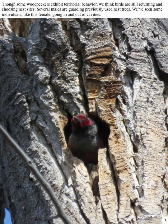 Though some woodpeckers exhibit territorial behavior, we think birds are still returning and choosing nest sites. Several males are guarding previously used nest trees. We've seen some individuals, like this female, going in and out of cavities.