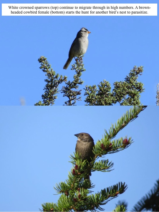poorwill. White crowned sparrows (top) continue to migrate through in high numbers. A brownheaded cowbird female (bottom) starts the hunt for another bird's nest to parasitize.