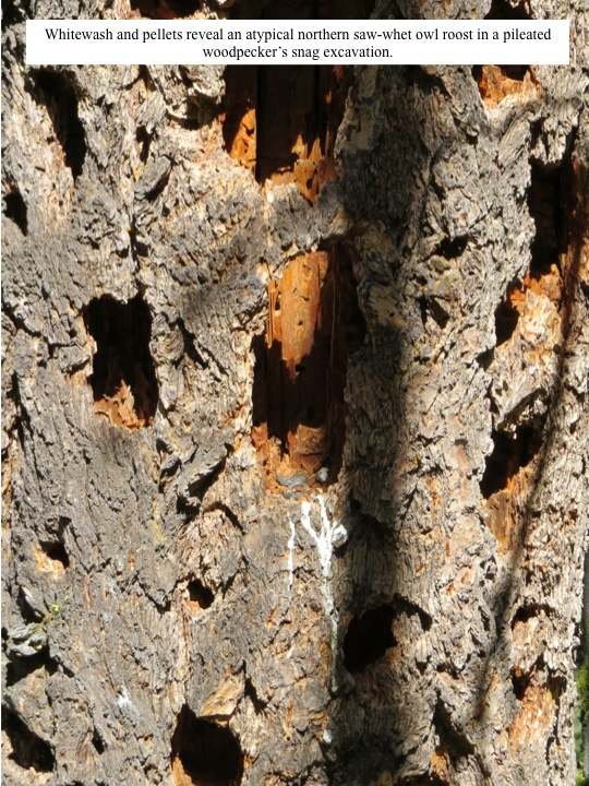 An atypical northern saw-whet owl roost with whitewash and pellets: a pileated woodpecker excavation in a snag.