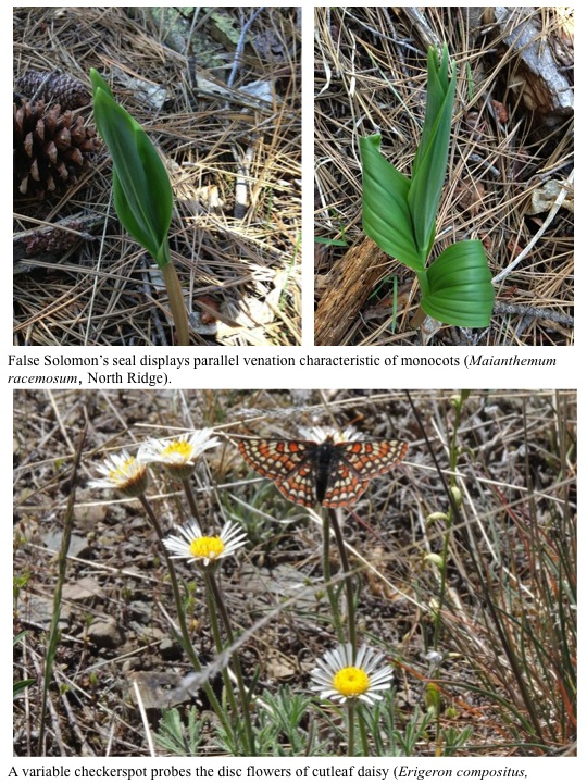 False Solomon's seal displays parallel venation characteristic of monocots (Maianthemum racemosum, North Ridge). A variable checkerspot probes the disc flowers of cutleaf daisy (Erigeron compositus,