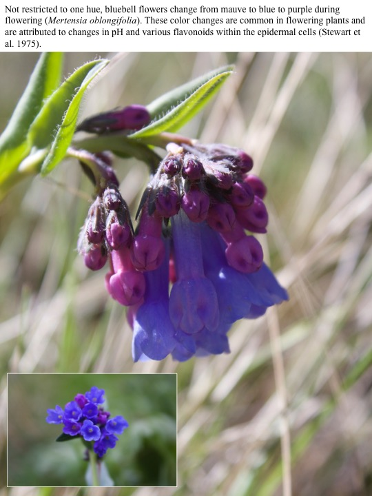 Not restricted to one hue, bluebell flowers change from mauve to blue to purple during flowering (Mertensia oblongifolia). These color changes are common in flowering plants and are attributed to changes in pH and various flavonoids within the epidermal cells (Stewart et al. 1975).