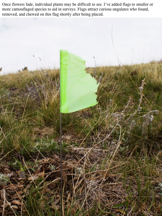 Once flowers fade, individual plants may be difficult to see. I've added flags to smaller or more camouflaged species to aid in surveys. Flags attract curious ungulates who found, removed, and chewed on this flag shortly after being placed.