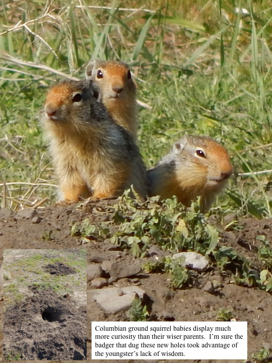 Columbian ground squirrel babies display much more curiosity than their wiser parents. I'm sure the badger that dug these new holes took advantage of the youngster's lack of wisdom.