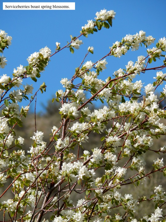 Serviceberries boast spring blossoms.