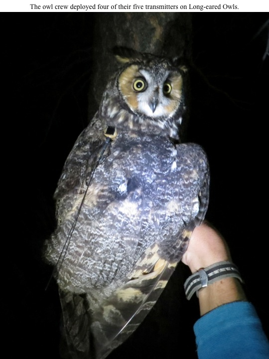 The owl crew deployed four of their five transmitters on Long-eared Owls.
