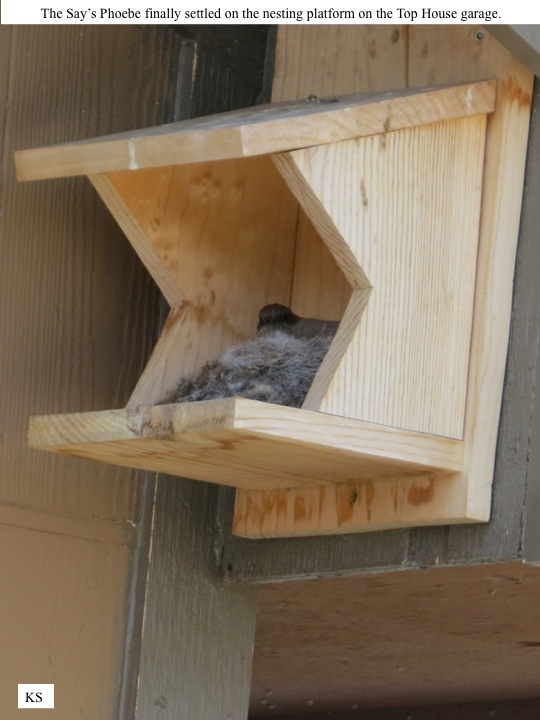 Rasmussen The Say's Phoebe finally settled on the nesting platform on the Top House garage.