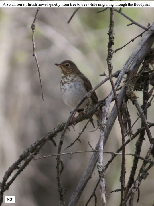 KS A Swainson's Thrush moves quietly from tree to tree while migrating through the floodplain.