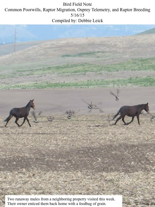 Two runaway mules from a neighboring property visited this week. Their owner enticed them back home with a feedbag of grain.