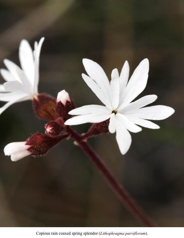 Copious rain coaxed spring splendor (Lithophragma parviflorum).