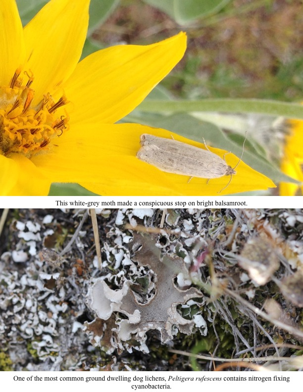 This white-grey moth made a conspicuous stop on bright balsamroot.