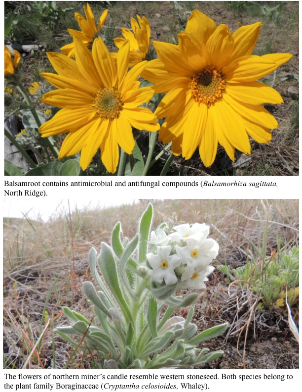 Balsamroot contains antimicrobial and antifungal compounds (Balsamorhiza sagittata, North Ridge). The flowers of northern miner's candle resemble western stoneseed. Both species belong to the plant family Boraginaceae (Cryptantha celosioides, Whaley).