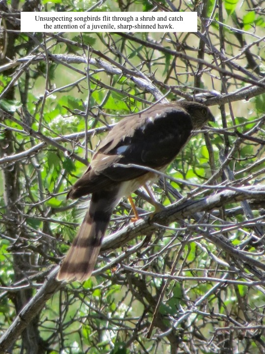 Unsuspecting songbirds flit through a shrub and catch the attention of a juvenile, sharp-shinned hawk.