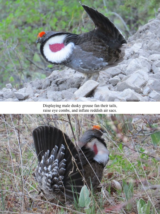 Displaying male dusky grouse fan their tails, raise eye combs, and inflate reddish air sacs.