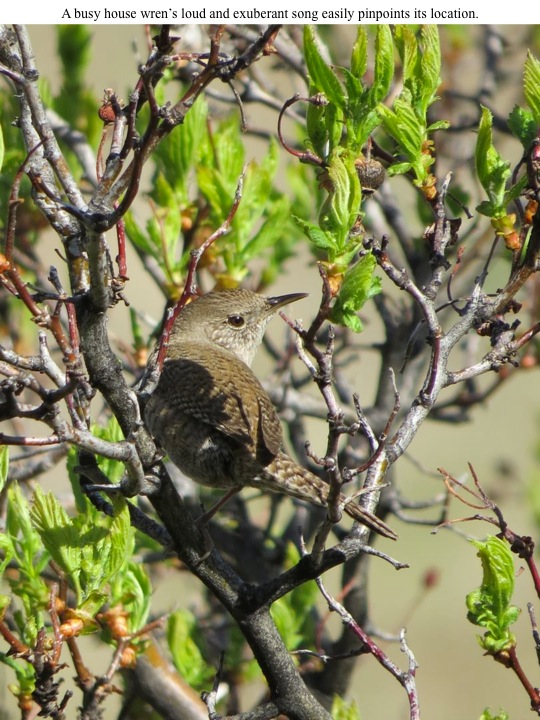 forest. A busy house wren's loud and exuberant song easily pinpoints its location.