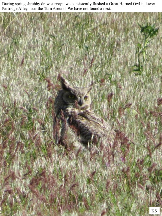During spring shrubby draw surveys, we consistently flushed a Great Horned Owl in lower Partridge Alley, near the Turn Around. We have not found a nest.