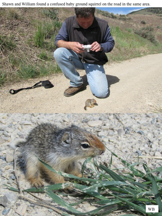 Shawn and William found a confused baby ground squirrel on the road in the same area.