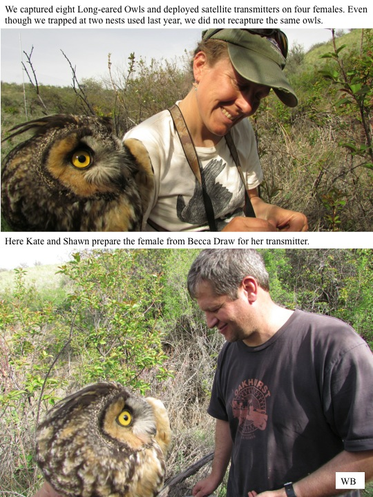 WB We captured eight Long-eared Owls and deployed satellite transmitters on four females. Even though we trapped at two nests used last year, we did not recapture the same owls. Here Kate and Shawn prepare the female from Becca Draw for her transmitter.