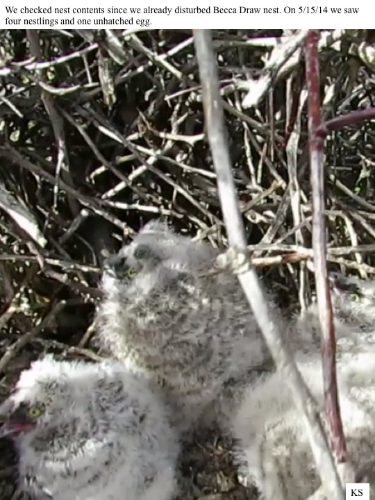 We checked nest contents since we already disturbed Becca Draw nest. On 5/15/14 we saw four nestlings and one unhatched egg.