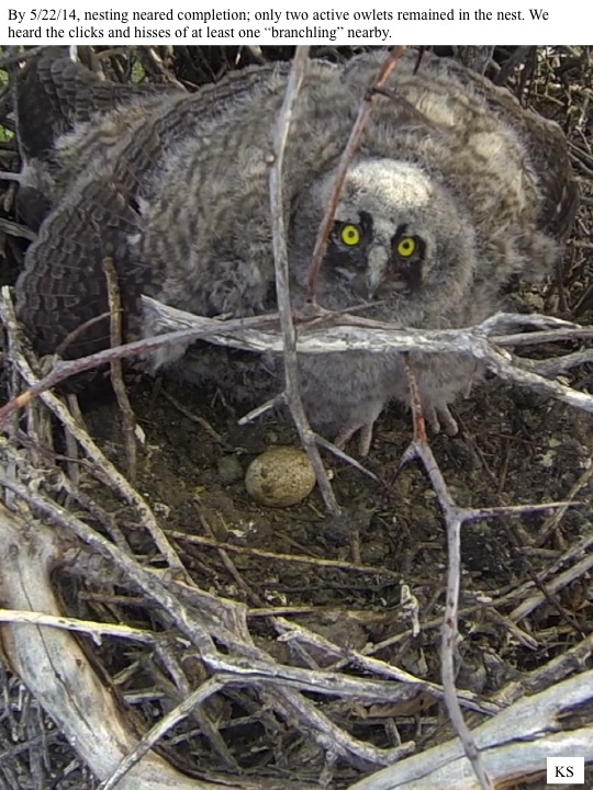 "By 5/22/14, nesting neared completion; only two active owlets remained in the nest. We heard the clicks and hisses of at least one ""branchling"" nearby."