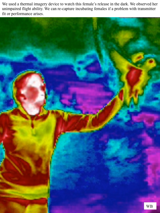 We used a thermal imagery device to watch this female's release in the dark. We observed her unimpaired flight ability. We can re-capture incubating females if a problem with transmitter fit or performance arises.