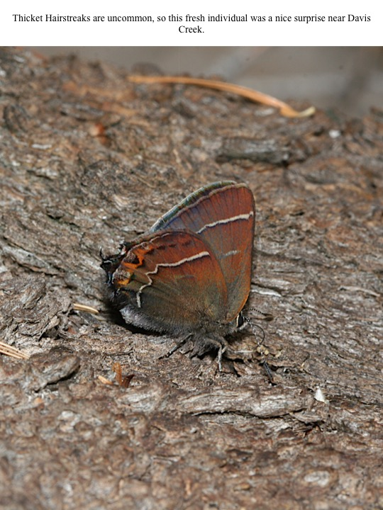 Thicket Hairstreaks are uncommon, so this fresh individual was a nice surprise near Davis Creek.