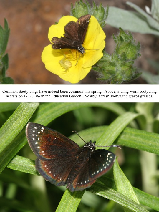 Common Sootywings have indeed been common this spring. Above, a wing-worn sootywing nectars on Potentilla in the Education Garden. Nearby, a fresh sootywing grasps grasses.