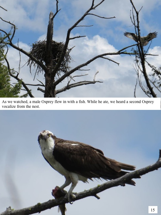As we watched, a male Osprey flew in with a fish. While he ate, we heard a second Osprey vocalize from the nest.
