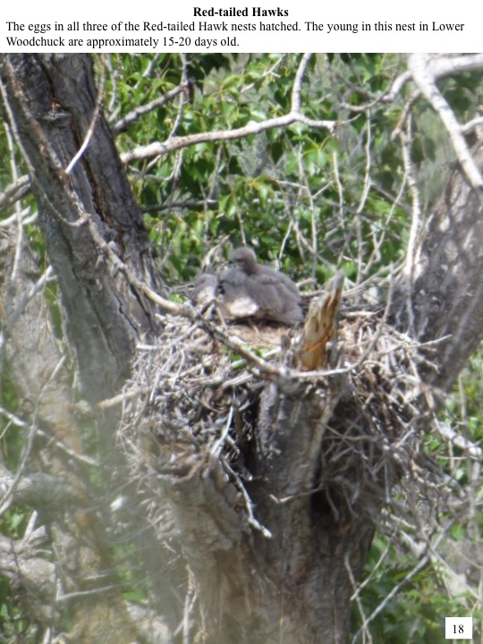 The eggs in all three of the Red-tailed Hawk nests hatched. The young in this nest in Lower Woodchuck are approximately 15-20 days old.