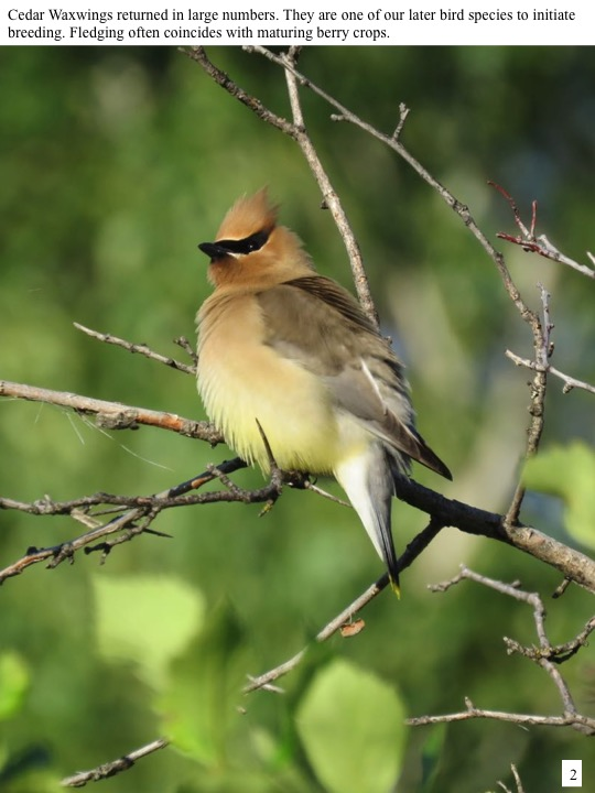 Cedar Waxwings returned in large numbers. They are one of our later bird species to initiate breeding. Fledging often coincides with maturing berry crops.