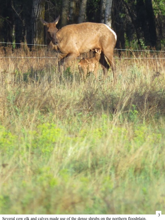 Several cow elk and calves made use of the dense shrubs on the northern floodplain.