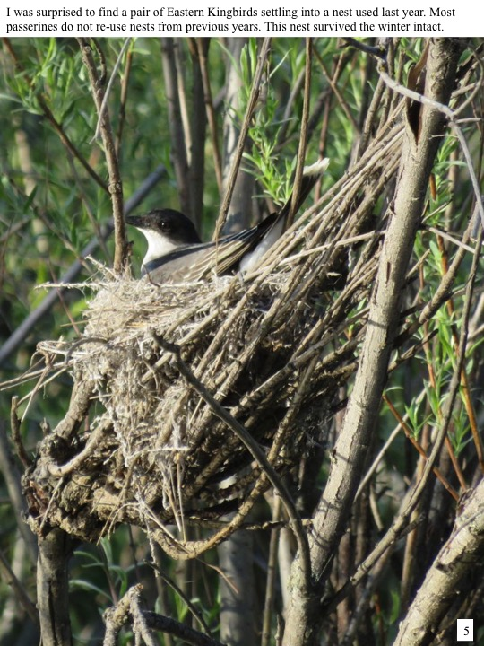 I was surprised to find a pair of Eastern Kingbirds settling into a nest used last year. Most passerines do not re-use nests from previous years. This nest survived the winter intact.