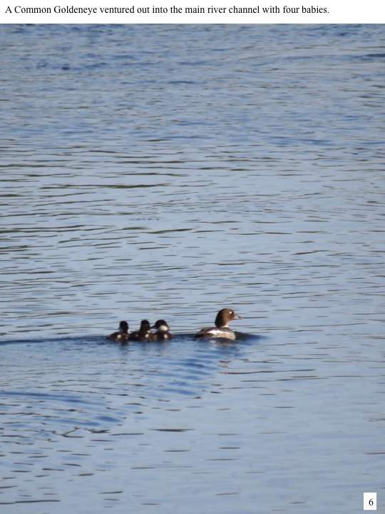 A Common Goldeneye ventured out into the main river channel with four babies.