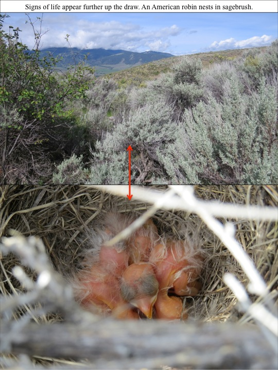 Signs of life appear further up the draw. An American robin nests in sagebrush.