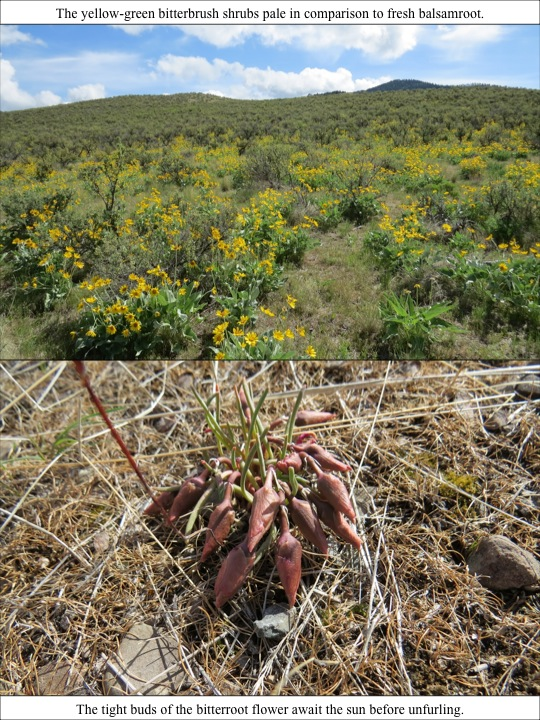 The yellow-green bitterbrush shrubs pale in comparison to fresh balsamroot.