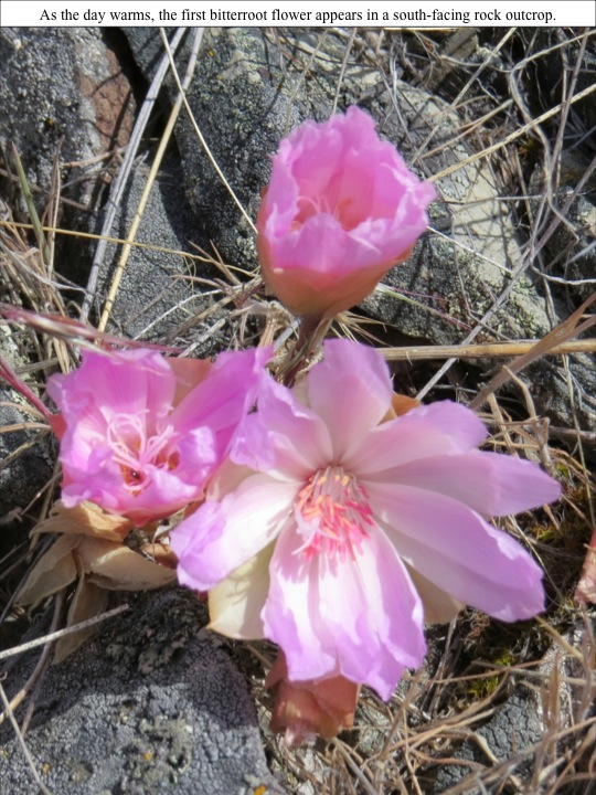 the day warms, the first bitterroot flower appears in a south-facing rock outcrop.