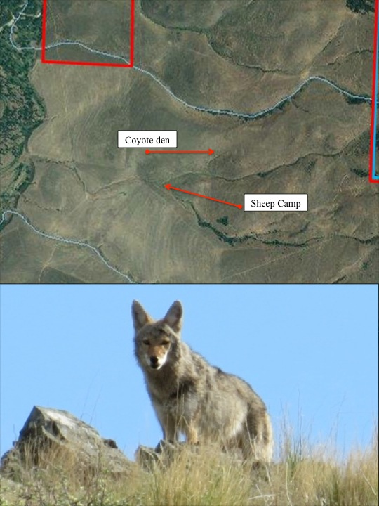 Coyote den map