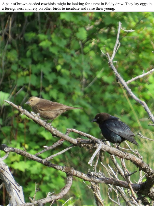 gills. A pair of brown-headed cowbirds might be looking for a nest in Baldy draw. They lay eggs in a foreign nest and rely on other birds to incubate and raise their young.
