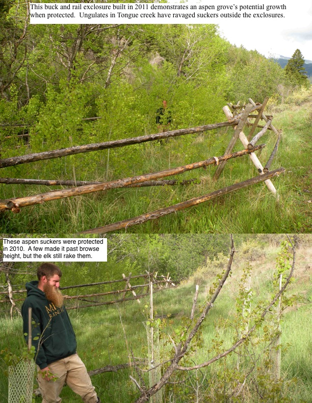 This buck and rail exclosure built in 2011 demonstrates an aspen grove's potential growth when protected. Ungulates in Tongue creek have ravaged suckers outside the exclosures.