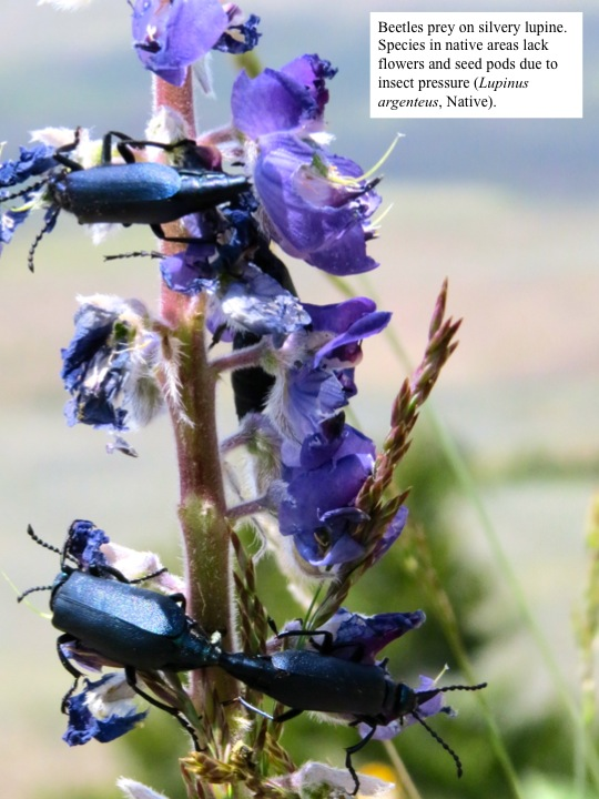 Beetles prey on silvery lupine. Species in native areas lack flowers and seed pods due to insect pressure (Lupinus argenteus, Native).