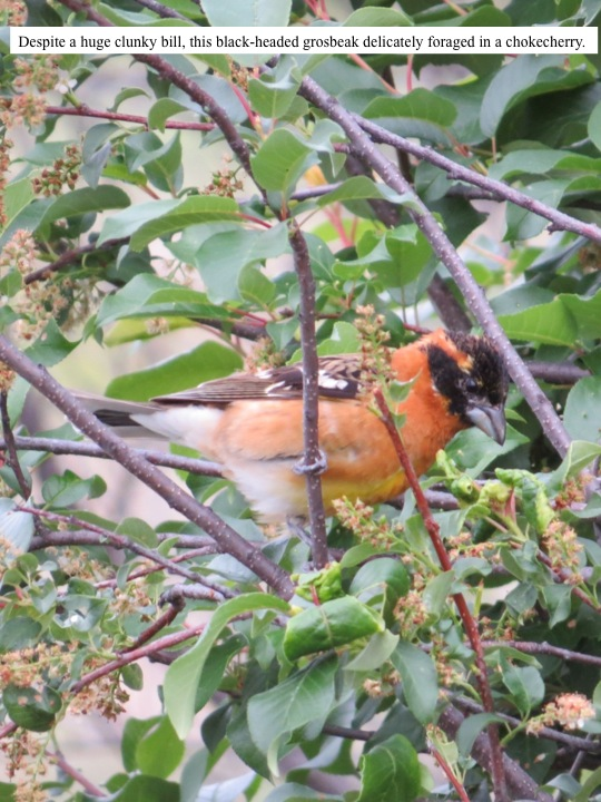Despite a huge clunky bill, this black-headed grosbeak delicately foraged in a chokecherry.