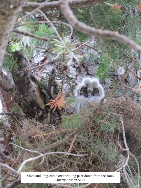 Mom and long-eared owl nestling peer down from the Rock Quarry nest on 5/30.