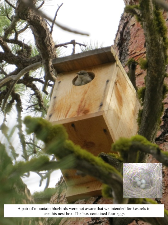 A pair of mountain bluebirds were not aware that we intended for kestrels to use this nest box. The box contained four eggs.