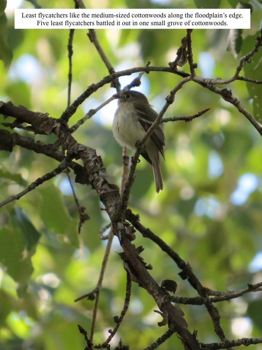 Least flycatchers like the medium-sized cottonwoods along the floodplain's edge. Five least flycatchers battled it out in one small grove of cottonwoods.