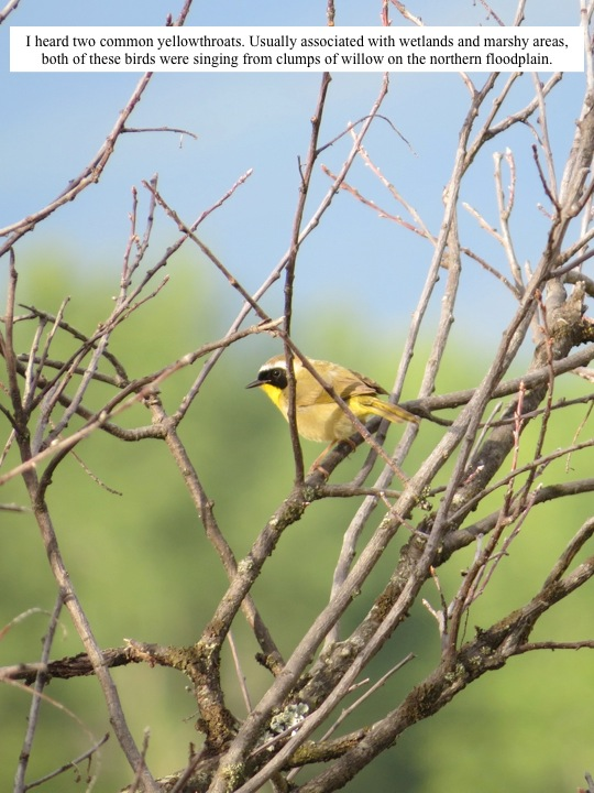 I heard two common yellowthroats. Usually associated with wetlands and marshy areas, both of these birds were singing from clumps of willow on the northern floodplain.