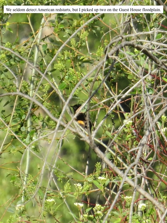 We seldom detect American redstarts, but I picked up two on the Guest House floodplain.