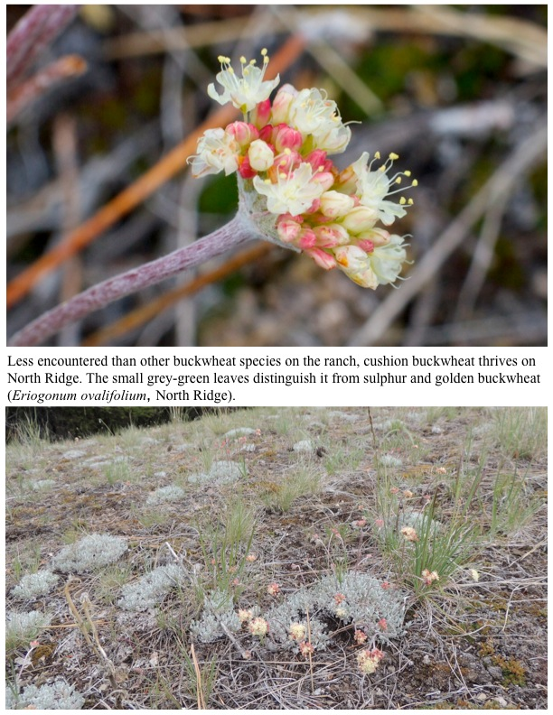 Less encountered than other buckwheat species on the ranch, cushion buckwheat thrives on North Ridge. The small grey-green leaves distinguish it from sulphur and golden buckwheat (Eriogonum ovalifolium, North Ridge).