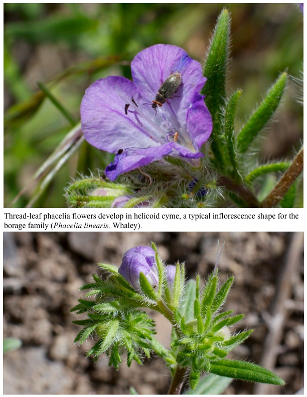 Thread-leaf phacelia flowers develop in helicoid cyme, a typical inflorescence shape for the borage family (Phacelia linearis, Whaley).
